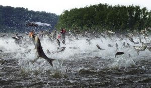 asian carp gone nuts